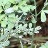 初幼虫  今年のアゲハ