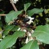 秋に咲く白い花ナワシログミ。 蝶などの昆虫たちに大人気のいい香りがするお花です。