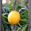 レモン見つけた!