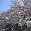 桜を見るのは今年が最後。。。