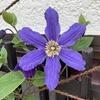 クレマチスのサムシング ブルーが返り咲きしています