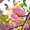 🌸近所の公園で八重桜を撮影しました!🌷