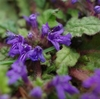 地に張りついて咲く花