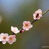 梅の花と蜂