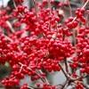 「ナンテン(南天)」の赤い実が、冬型の空に映えて…。