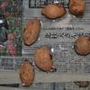 サツマイモの栽培記録 その7
