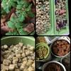 各種ミニトマト達🍅順調な生育🍅🥗