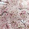 満開の桜(*^_^*)