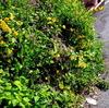 LUMIX DMC-LX2で撮影した山吹の花
