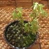 ヤマモミジの芽摘み(四月)