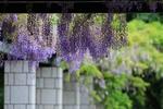 藤の花を楽しむ。札幌・前田森林公園、見頃は6月初旬まで。