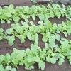 菜園の経過と畑作りから学ぶこと~小松菜&春菊を追加