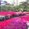 東京都心のツツジの名所② 2019年の見頃は?大名庭園 のツツジを楽しむ