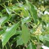 クスノキの花 楠木 Cinnamomum camphora
