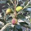 果樹に実がならないのは何故?自家結実性のない品種の特徴と注意点
