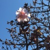 大寒の空と寒桜