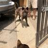 兄と四国犬