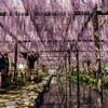 愛知の藤まつりを巡ってきた(江南の曼陀羅寺/津島の天王川公園)