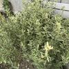 斑入り葉 プリペットとブルーデージー