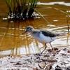 ベリーズ 川岸の Least Sandpiper (サンドパイパー)