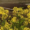 夕陽を透かす菜の花&二日間の独り言