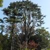 大樹を詠むースギ