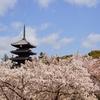 【桜】桜巡りの締めは仁和寺の御室桜で!【4/5散策記】