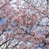 艶やかな桜に君たちのことを想う