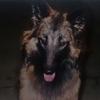 BELGIAN SHEPHERD DOG  TERVUEREN