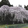 高知県の桜