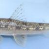 【ネタ仕込み】川魚を釣りたいので、生態をガッツリ調査してみたぞい。