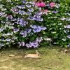 紫陽花の頃のうさぎ島(大久野島)、初めて「うさぎの集団 足ダン」を体験 広場中に響き渡って