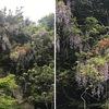 春から初夏の花5 フジ 今年の出会いは,藤棚の藤.  薬王院という小さなお寺の藤棚で,しっかり花を咲かせていました.日本固有種としてフジ,ヤマフジの2種がありますが,ヤマフジは関西以西に自生とのこと.見分け方はツルの巻き方の相違.ただし,どちらを左巻き,右巻きと呼ぶかには混乱があります.万葉集にも取り上げられているフジ.今では世界で愛される植物になっています.