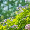 紫陽花の景