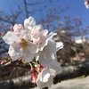 春本番、桜咲く白鷺の城とウサギの春休み。