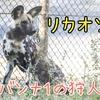 【生き物紹介#6】サバンナの名ハンター!リカオンの生態、見られる動物園の紹介