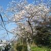 連日の24℃超え!一日で桜が満開に!
