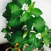 ほおづきの花