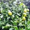 雨上がり少し色差す青蜜柑