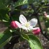 因幡のリンゴ