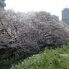 多摩川桜百景 -6. ガス橋緑地堤防二十一世紀桜並木-