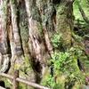 屋久島 「ヤクスギランド」いにしえの森コース散策、登山なしで行ける 樹齢約3000年「紀元杉」