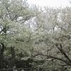 安部山公園から火の山公園桜鑑賞