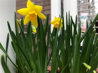 昨年より多くの水仙が咲きました〜間引き成功〜