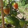 ミニトマト気になること この日の最終形 Things to worry about with cherry tomatoes
