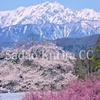信州各地、天然記念物の桜を訪ねて。