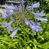 アガパンサス 鎌倉の街で今一番勢いがある花は,アガパンサスような気もします.数は多くないのですが,植物の勢いと花の色のせいでしょうか.所々でとても目立っています.「立ち姿が優雅で美しく,力強さも感じられます」 鎌倉では,おんめさま(大巧寺)の八幡宮寄りの山門の前は,ひときは華やか.門をくぐると,小径の中頃,左手一面が紫色に.語源はギリシャ語 agáp(ē)愛+ánthos 花.シンプルで最高のほめ言葉ですね.