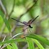 ハグロトンボは静かな森をそっと飛ぶ