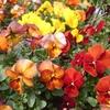 安売りビオラの南向き花壇、開花