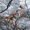 二ヶ領用水の桜開花状況